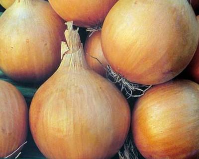 Onion Set, Stuttgarter, Yellow 1 Lb