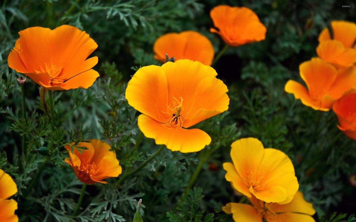 Poppy California Orange Og Seattle Seed Company