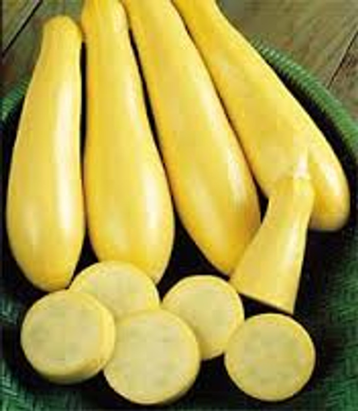 Squash - Success PM Yellow Straightneck Summer OG