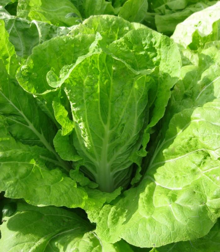 Napa Cabbage - Nozaki Early OG