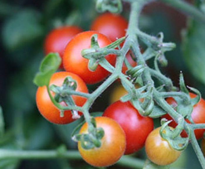 Tomato - Peacevine OG