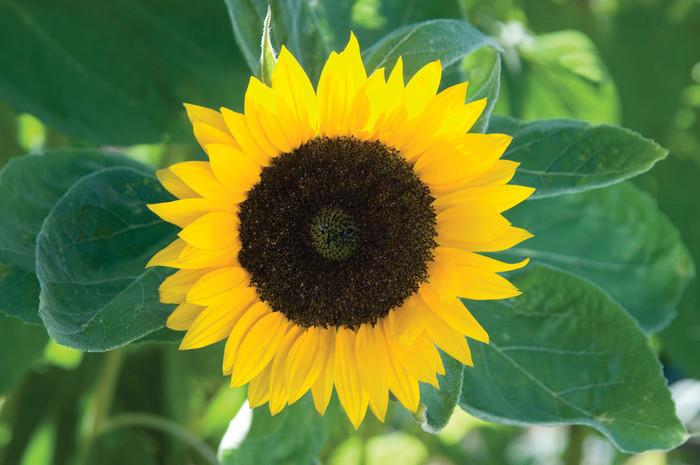 Sunflower - Zohar OG