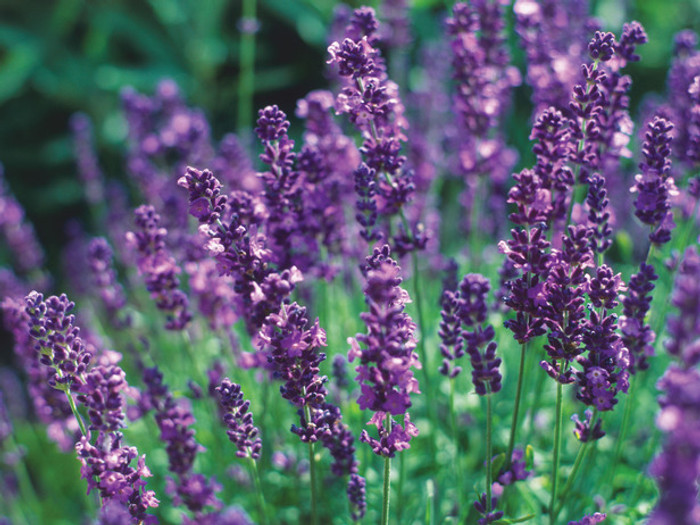 Organic English Lavender