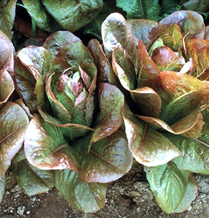 Lettuce - Rouge de Hiver OG