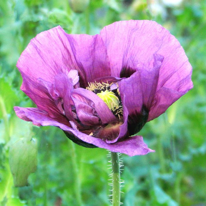 Poppy - Large Lavender OG