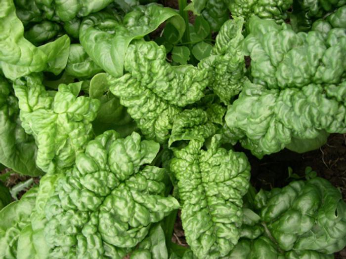 Spinach - Longstanding Bloomsdale OG