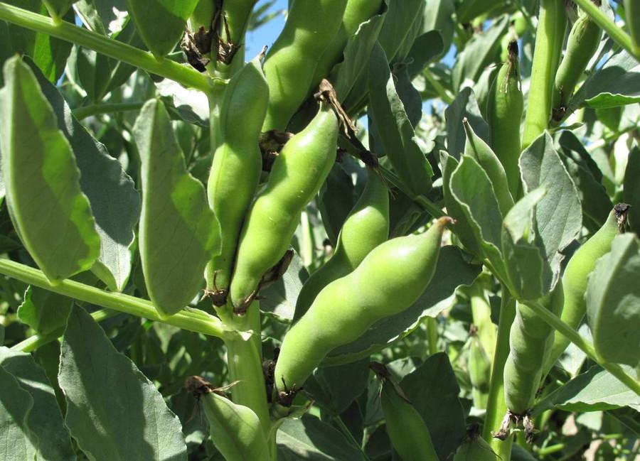 Fava Bean - Broad Windsor OG