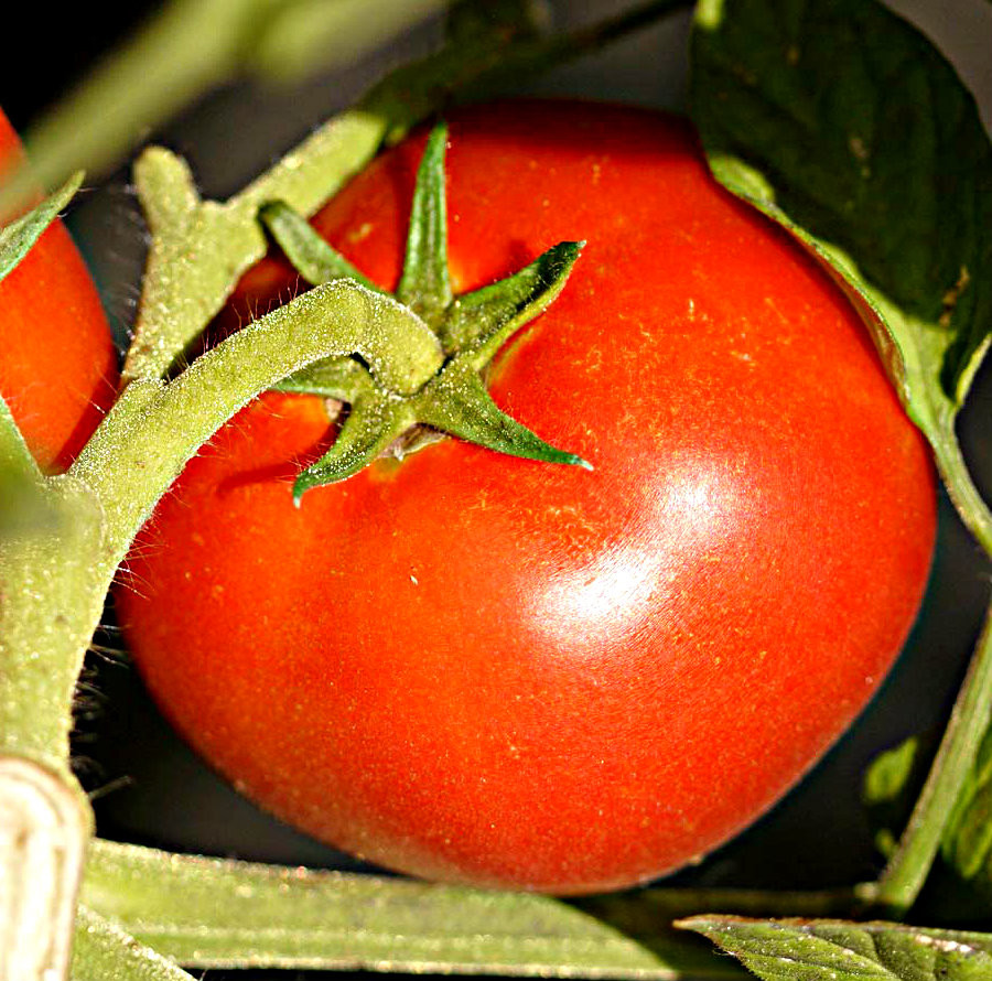 Tomato - Oregon Spring OG