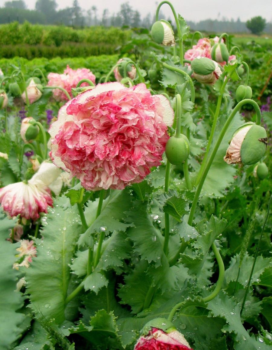 Poppy - Flemish Antique