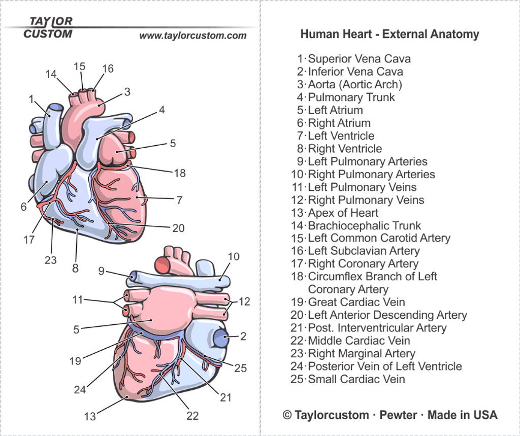 Human Heart Anatomy Pendant Packaging