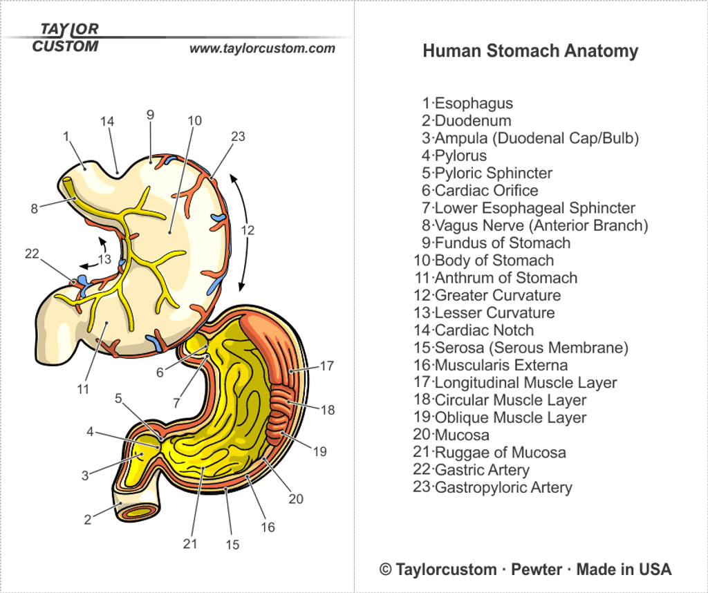 Human Stomach Locket packaging diagram