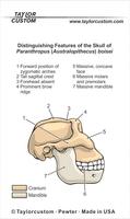 paranthropus boisei skull keychain packaging