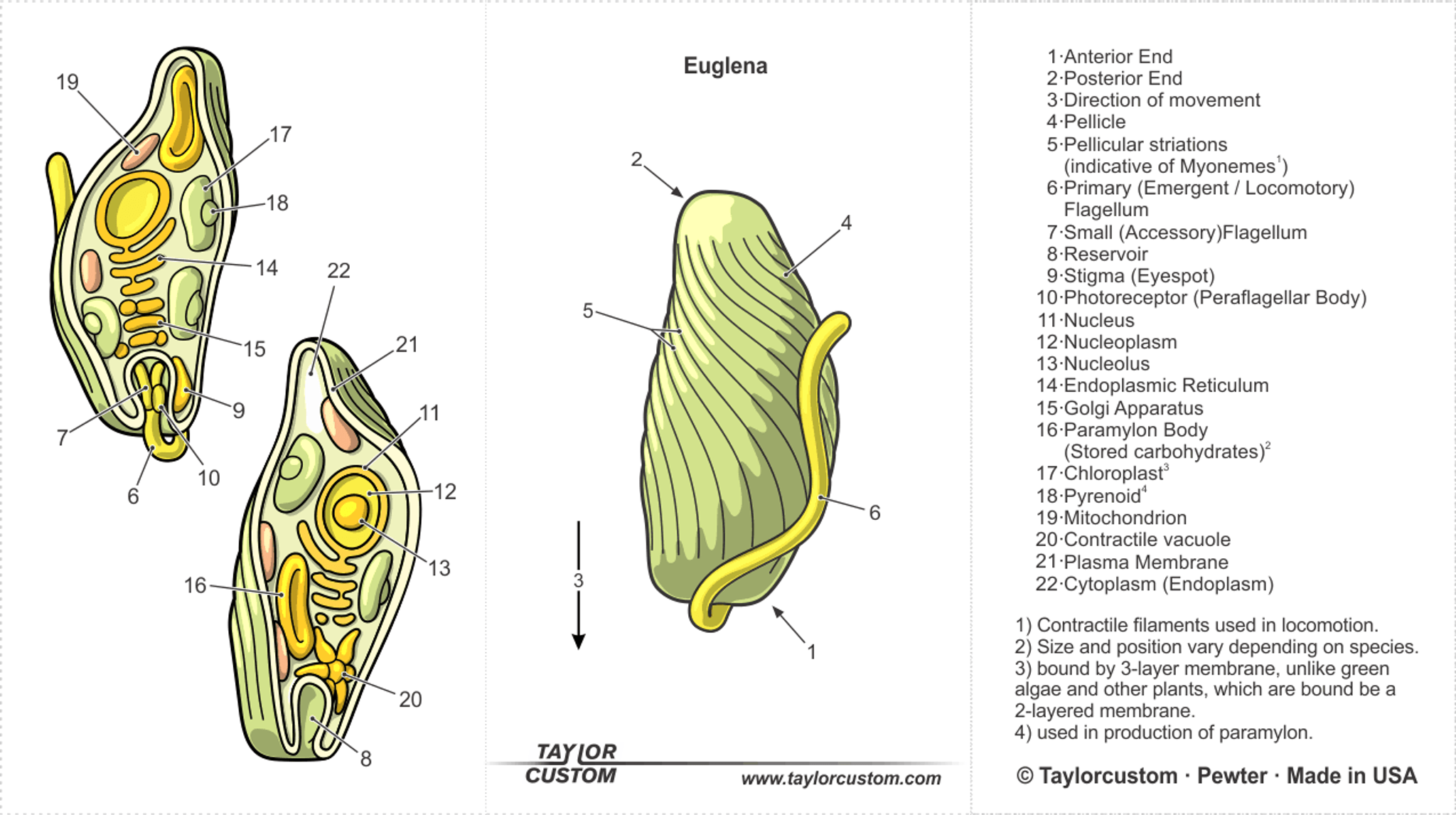 Euglena Necklace - Taylorcustom
