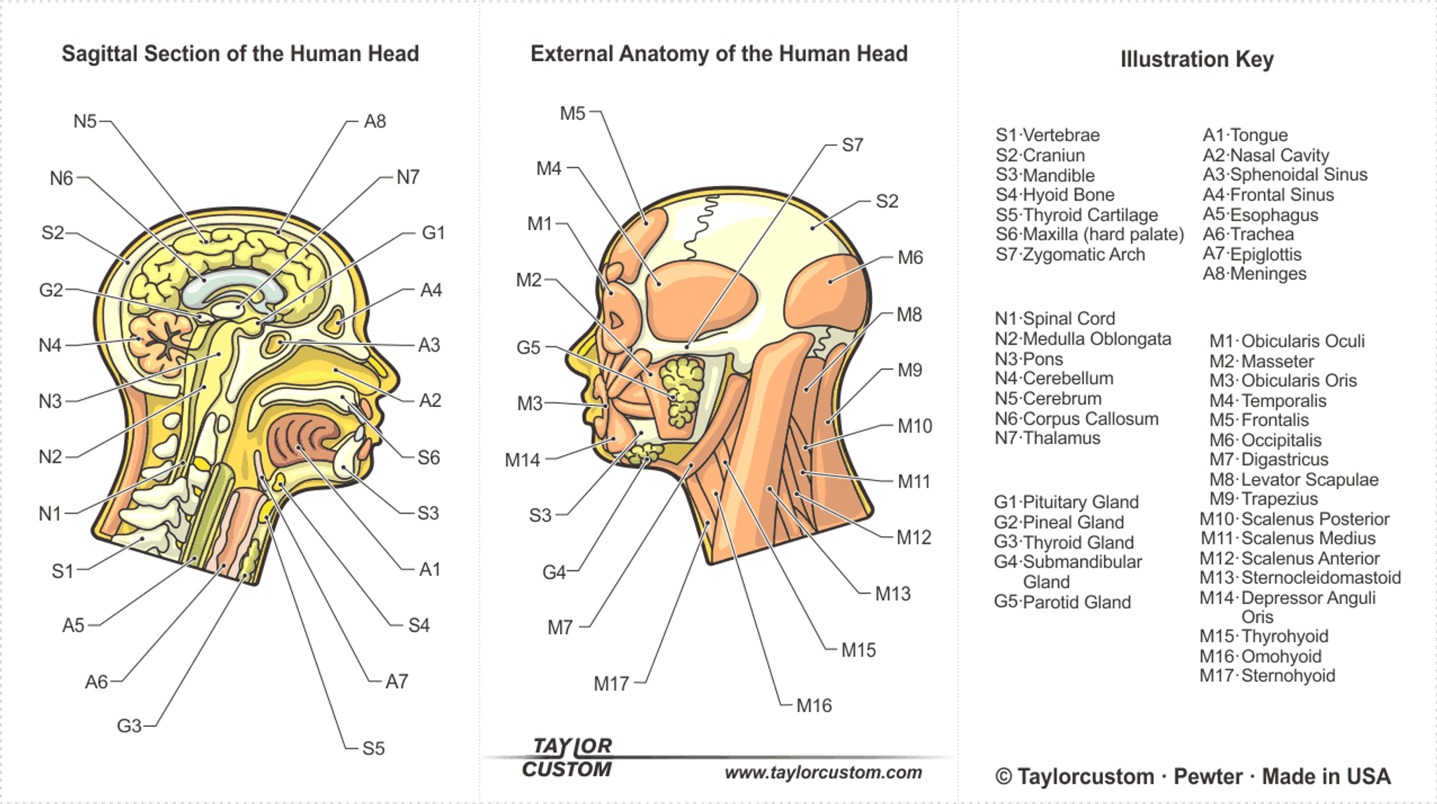 Dorable Parotid Gland Anatomy Adornment - Anatomy and Physiology ...