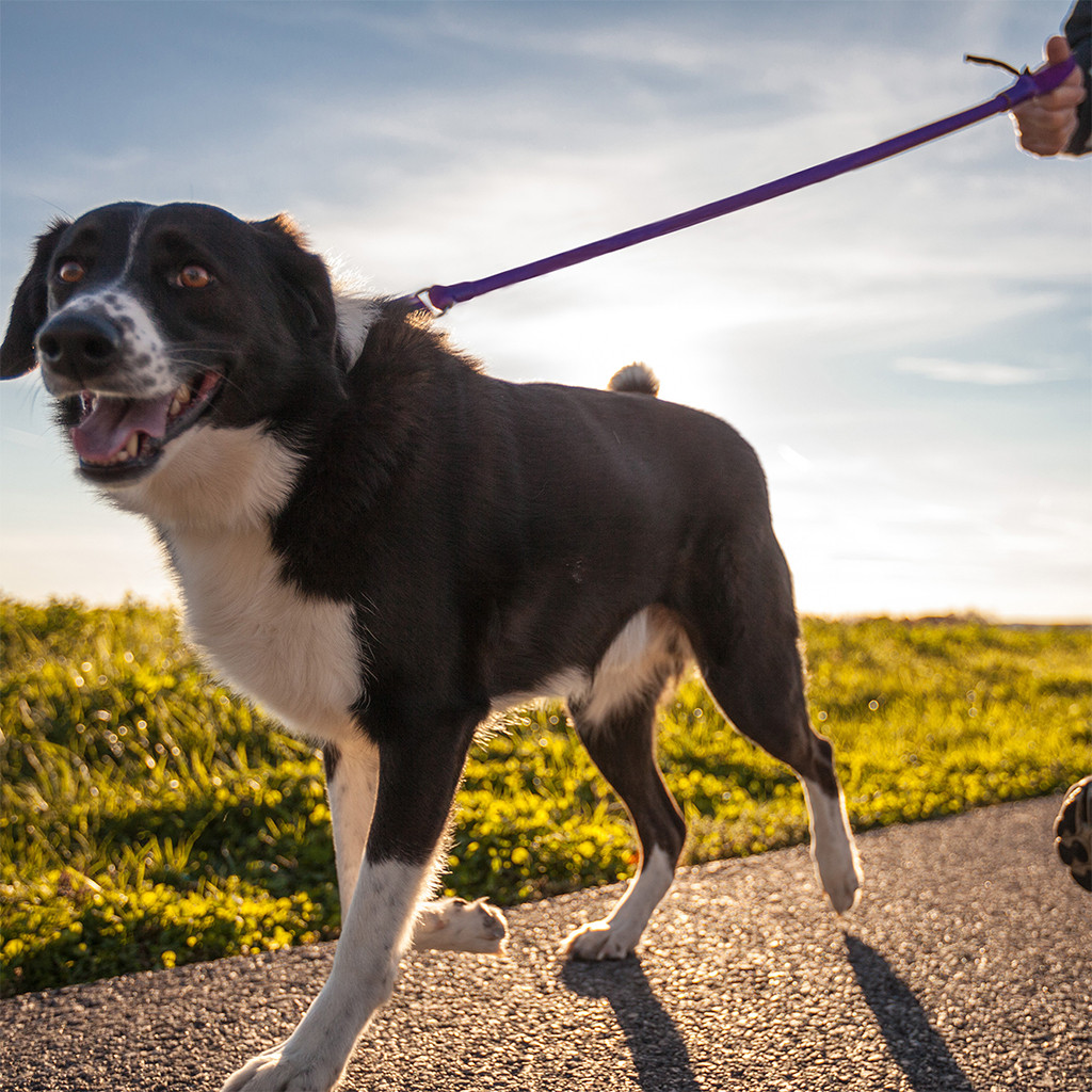 Bungee leash produces less stress on your shoulder and your dog.