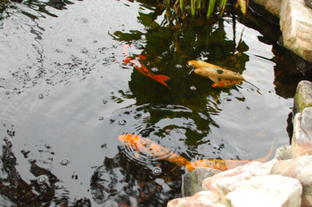 These beautiful Koi Fish love their large pond by Pondineer