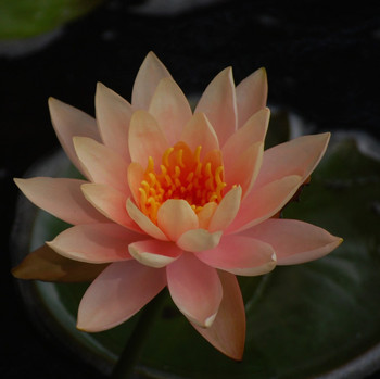 aquatic pond plants pink water lily