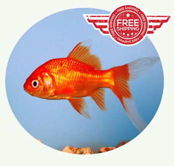 Pond Comets on sale and ship for FREE!