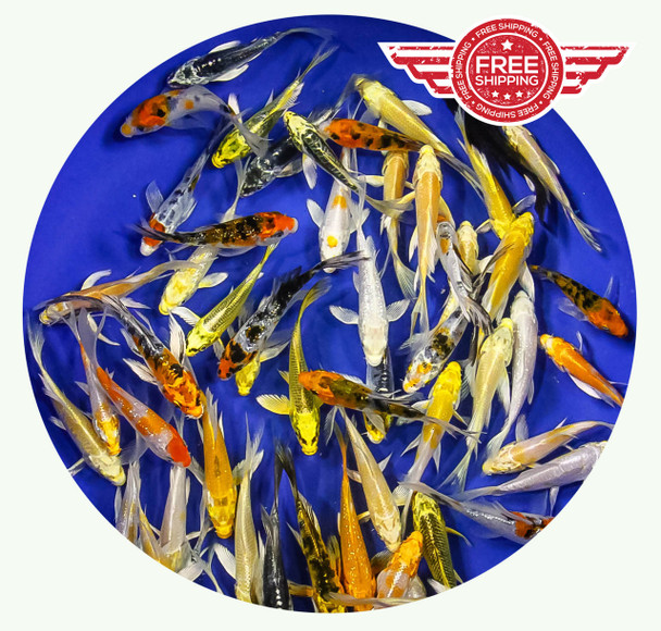 3-4 Butterfly inch Koi Premium Grade Ship for FREE!