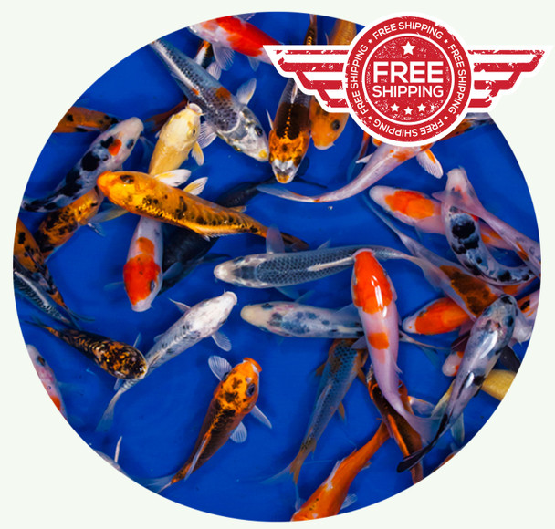 3-4 inch Regular Koi Standard Grade Ship for FREE!