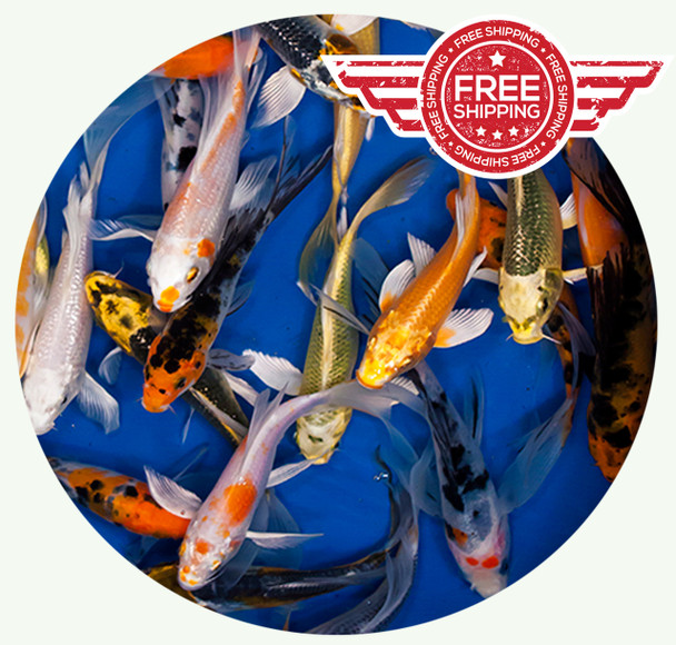 6 to 8 inch Standard grade Butterfly Koi on sale with FREE shipping!