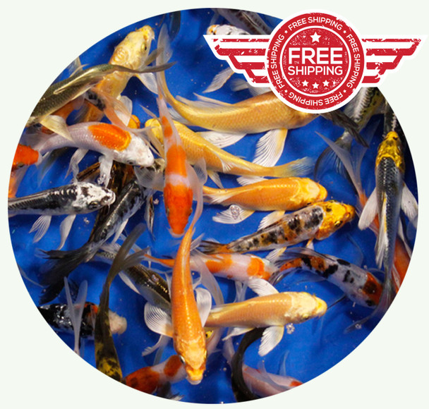 6 to 8 inch Premium grade Butterfly Koi on sale with FREE Shipping!