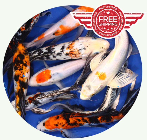 8 to 10 inch Standard grade Butterfly Koi on sale with FREE Shipping!