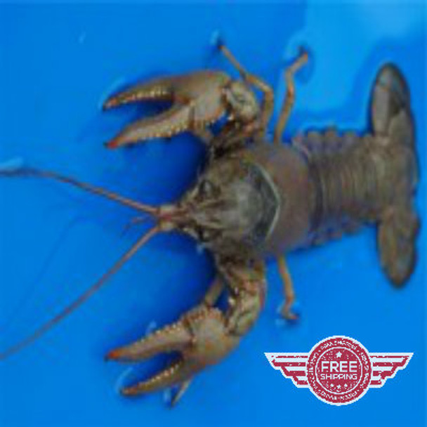 Crayfish for sale