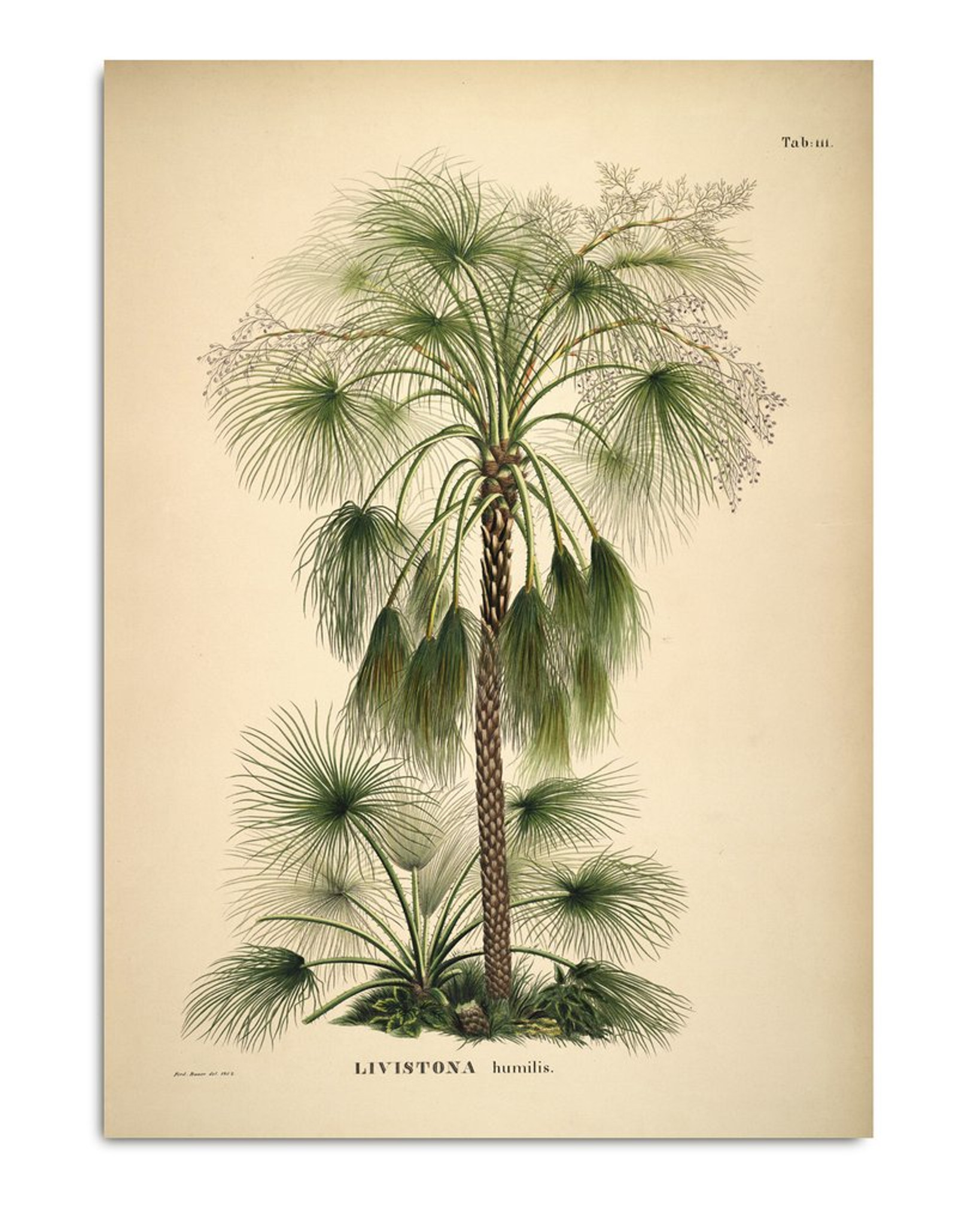 Livistona Humilis. Botanical Palm Tree Print