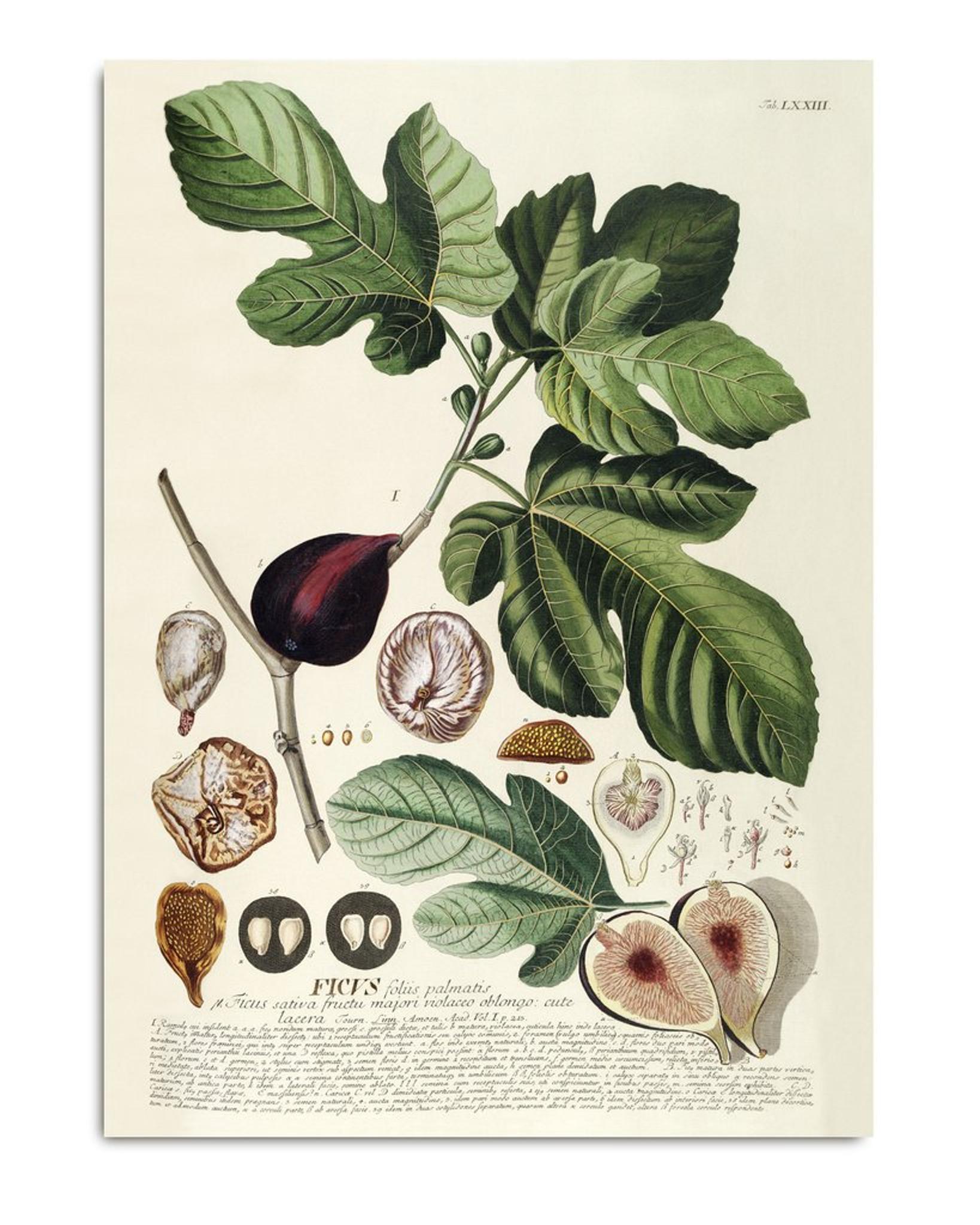 Ficus. Plantae Print