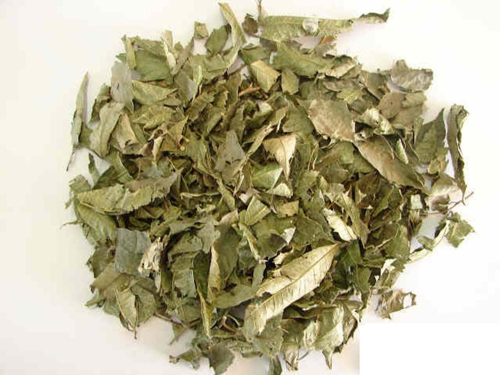 ESPINHEIRA SANTA (Maytenus ilicifolia)