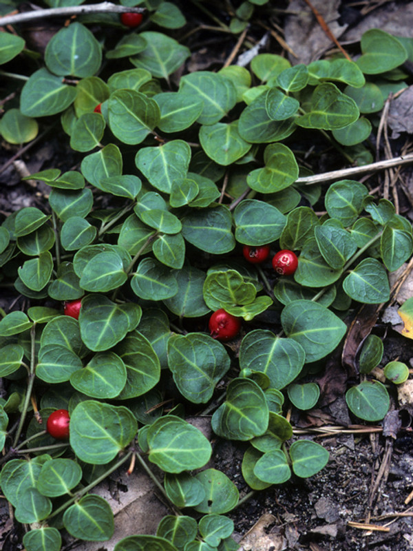 Partridgeberry Vines