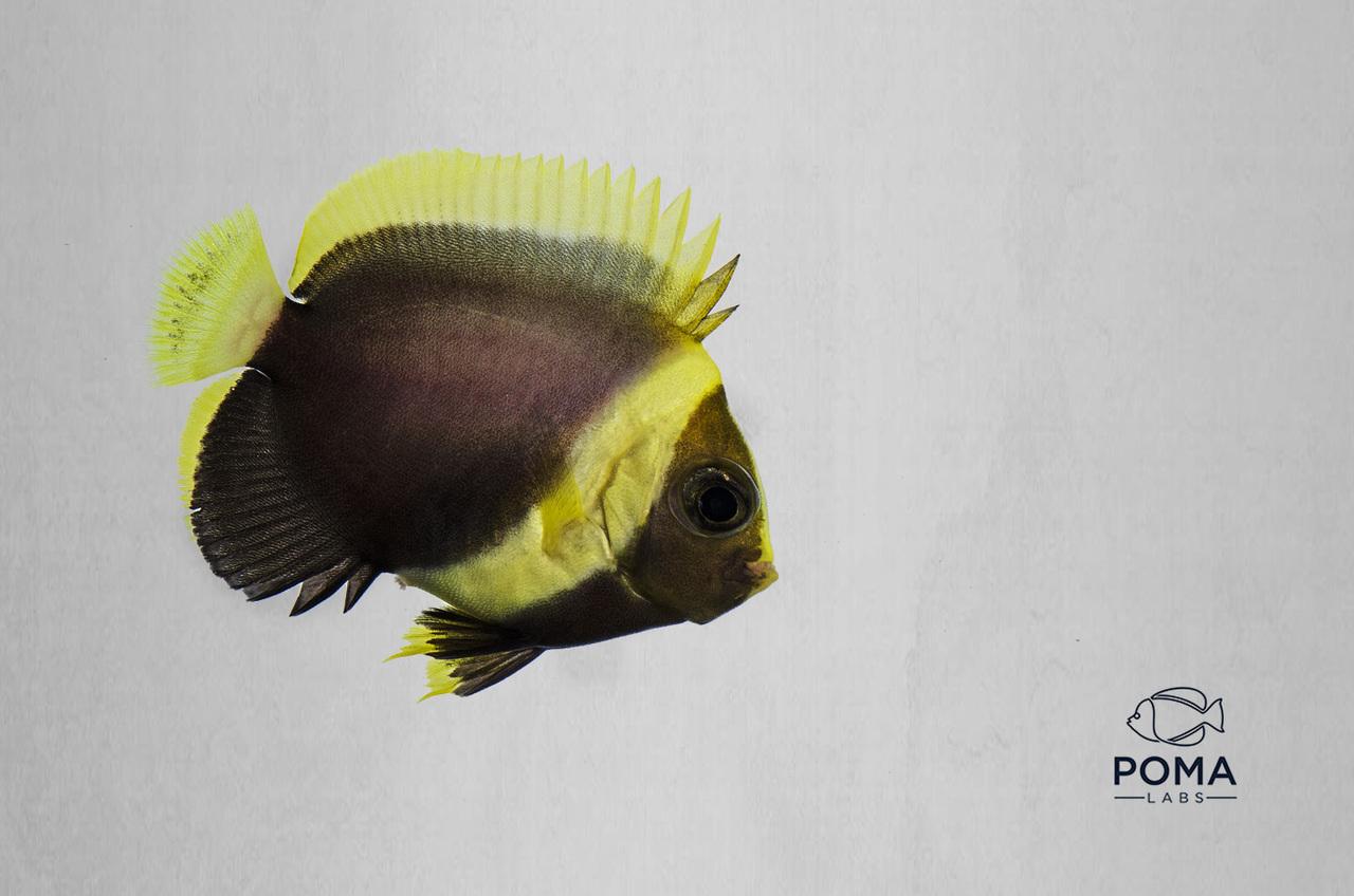 Captive-Bred Black Velvet Angelfish
