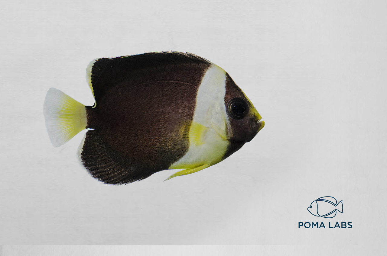 Captive-Bred False Personifer Angelfish