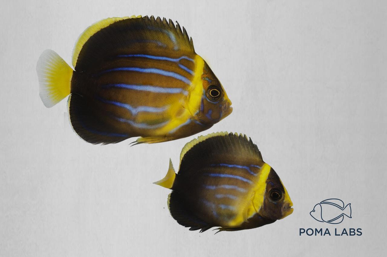 Captive-bred blueline angelfish