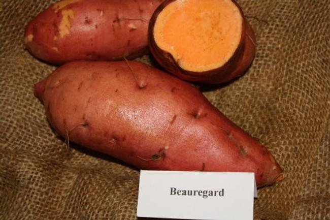 Beauregard Sweet Potato -  April to June Shipping