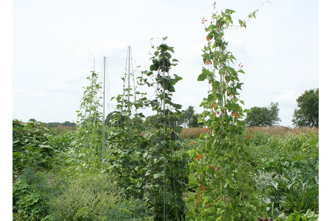 Bean Pole Trellis Topper
