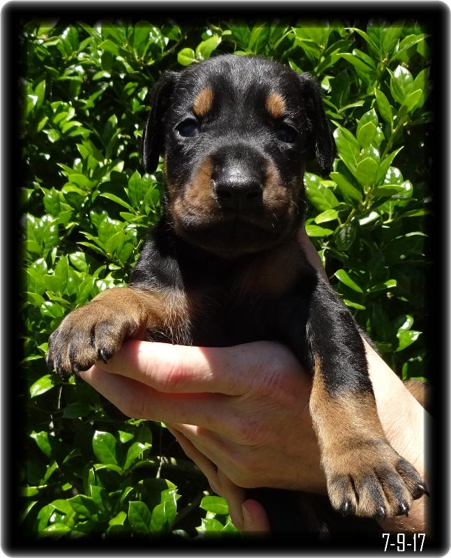 Dobe Pup in Hand Picture