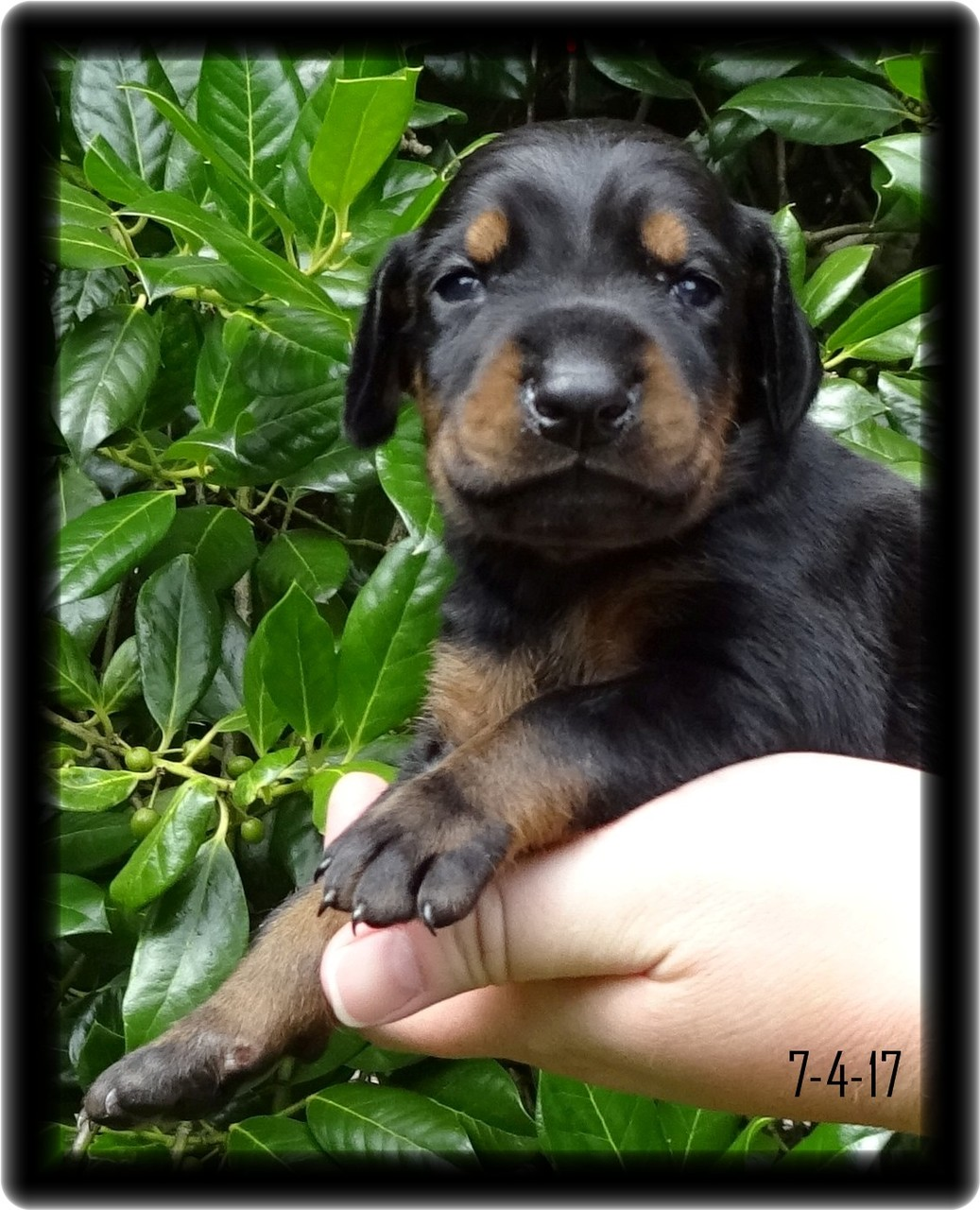 doberman pup named Madison