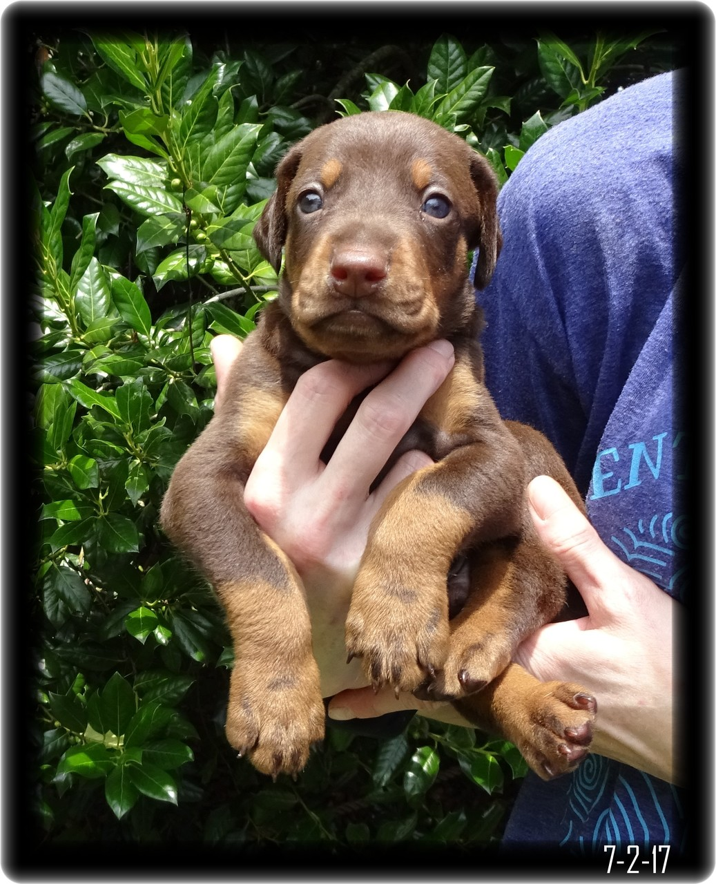 red doberman puppy