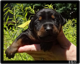 Talyn Baby Black and Tan Dobe Pup Before eyes opened