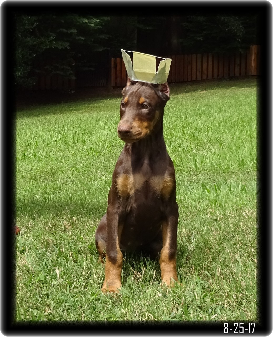 Doberman pup after ear crop in quick brace system