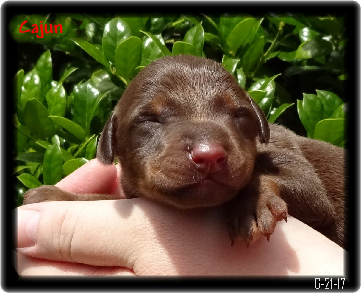 Cajun Tiny dobe Pup newborn