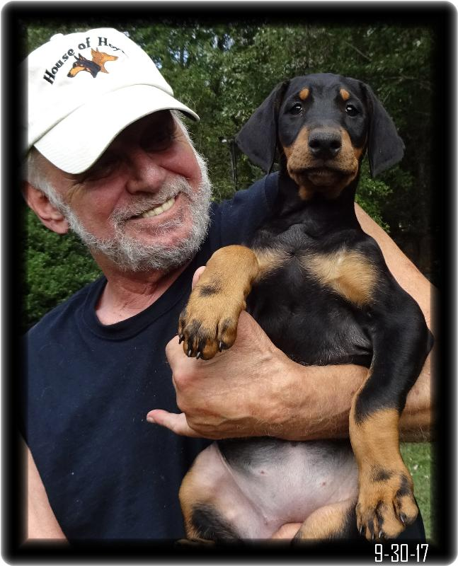 Mia, the Alert 8 week old Dobie Pup with long ears