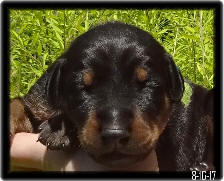 Lambeau a black and tan boy dob pup
