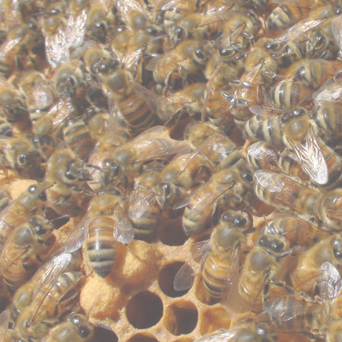 Package of Bees (3lbs) - Late April Pick Up - Sold Out