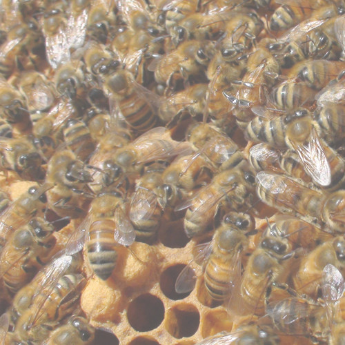 Package of Bees (3lbs) - Early April Pick Up - Sold Out