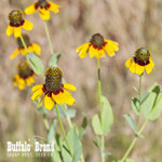 Clasping Coneflower