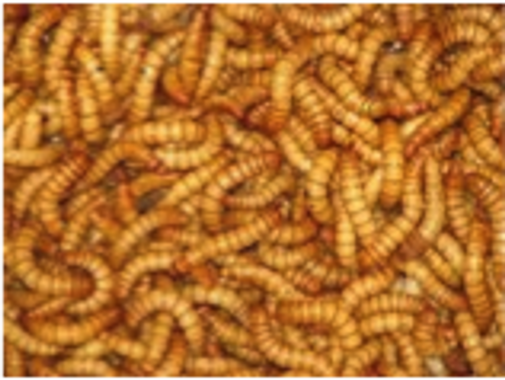 Mealworms - regular 50gms