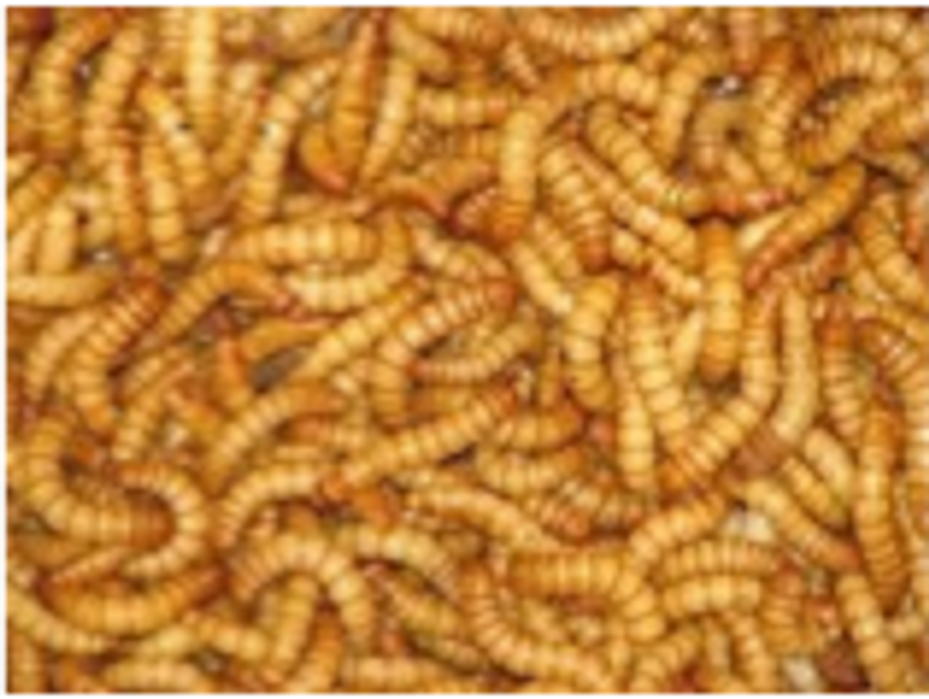 Mealworms - regular 250gms